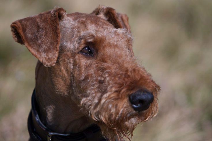 Airedale Terrier FrodoSpencer vom roten Milan Deckrüde
