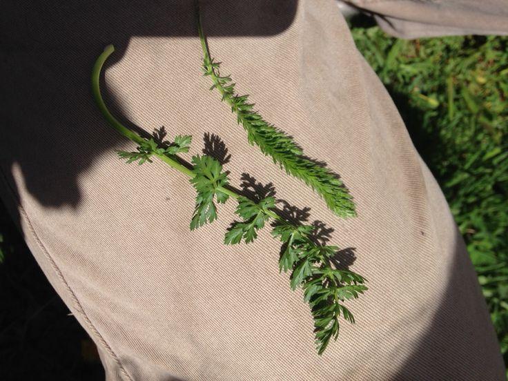 Ryllik til venstre og karve til høyre Karve smaker litt som persille  Karve er tykkere i bladene enn ryllik Bladene sitter på stilken. Bretter du bladene bakover er det fremdeles blader foran på stilk. Hundekjeks og ryllik har naken stilk Karverot er god. Du kan ta med rot, men ikke utrydd. Plukk kun rot der hvor det vokser mye.