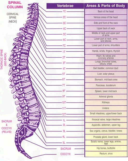 12 best images about the spine on pinterest | physical therapy, Cephalic Vein