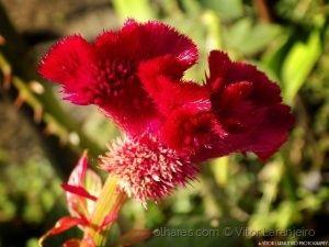 Flores do Meu Jardim.. (Crista de Galo.. )