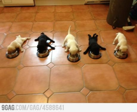 5 little puppies: Awww, Dinners Time, Dogs, So Cute, Doggies, Pet, Labs Puppys, Legs, Funny Animal