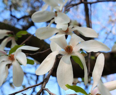 Magnolia salicifolia Maximowicz – Toronto, Canada: http://kampo.ca/herbs-formulas/herbs/shinyi/