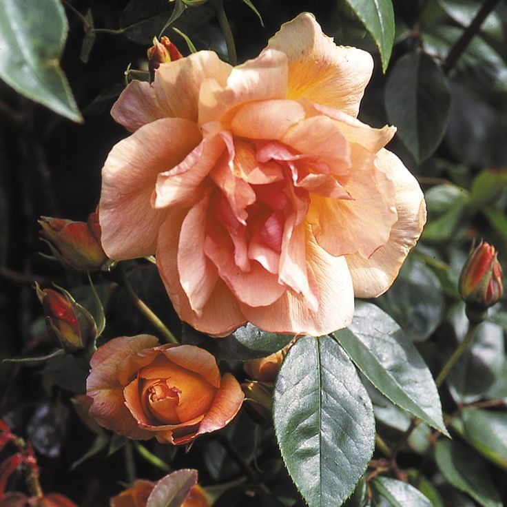 Crepuscule - Climbing Roses - Type