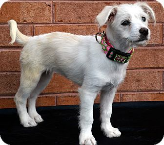 Pictures of Paisley a Terrier (Unknown Type, Small)/Bichon Frise Mix for adoption in Bridgeton, MO who needs a loving home.