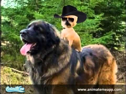 Funny Talking Dog riding another dog. Yee Haa!  Create your own talking pets, talking animals, and photo animations with the FREE Animate Me - Talking Photos app for iPhone and iPad. It won't be free for long, so download today! http://www.animatemeapp.com/get