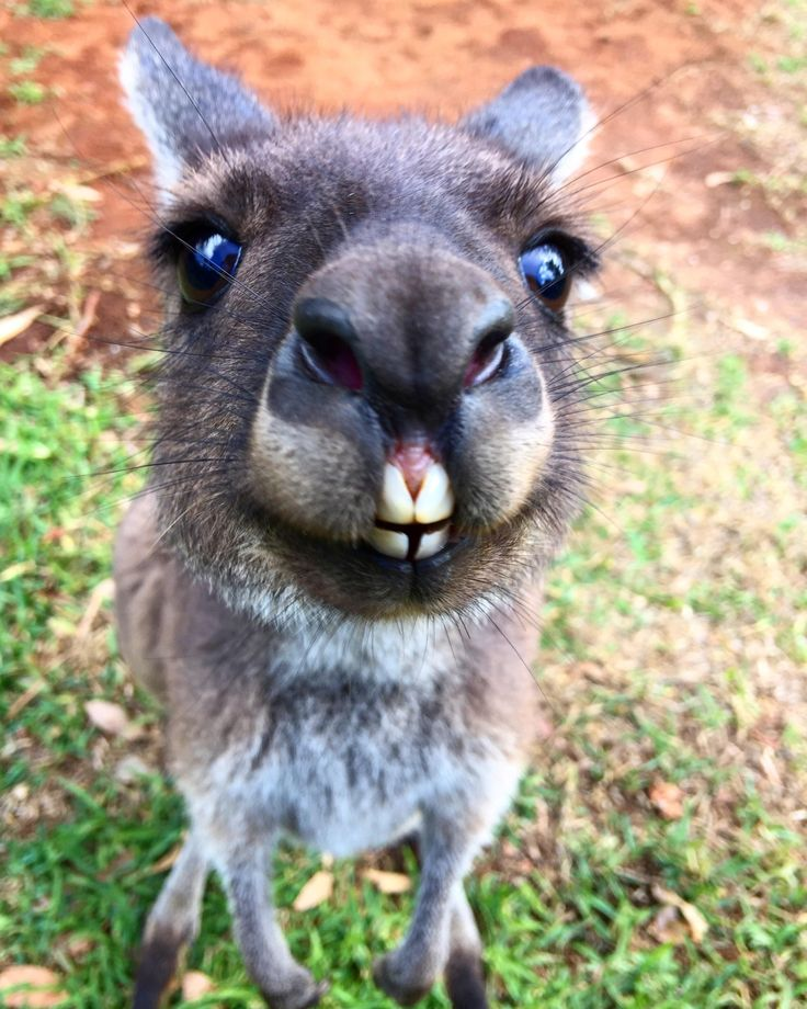 Meet 'Honey-Dew'. Rescued Joey kangaroo. She weight just one kilogram when she was saved. 18 months on she's fury and as happy as can be. http://ift.tt/2o6paOI