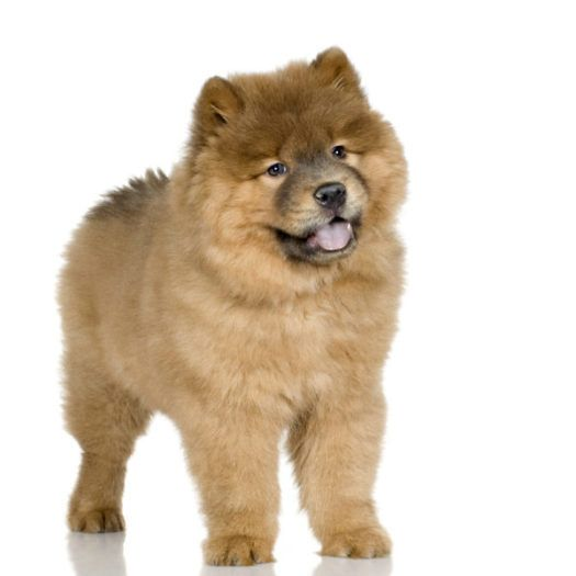 Chow Chow Puppies For Sale Breed Group Non Sporting Height 17 To