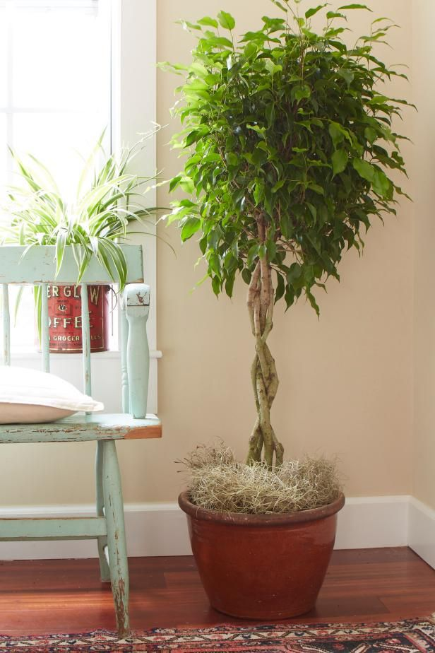 How to Grow a Ficus Tree Indoors - Get tips on ficus tree care and enjoy a beautiful indoor plant year-round in this feature from HGTV.