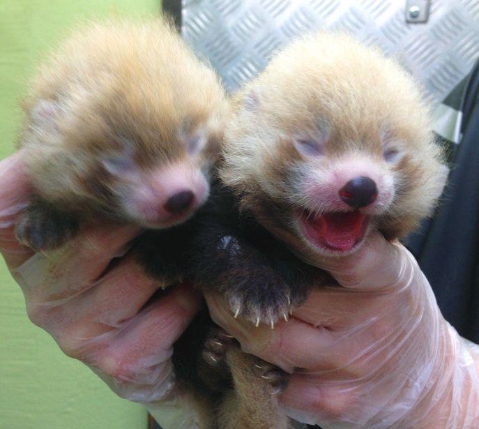 Два детеныша красной панды родились в шведском зоопарке Кольморден (недалеко от Стокгольма). Каждая из маленьких панд сегодня весит 500 граммов — это в пять раз больше, чем при рождении. Вес взрослой особи достигает 5 кг.
