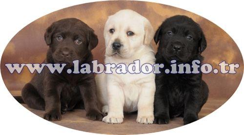 Labrador Yavruları - LABRADOR DÜNYASI