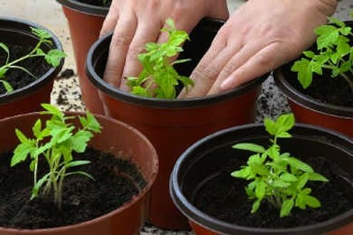 Growing tomatoes from seed is easy and now is the time to start! #garden