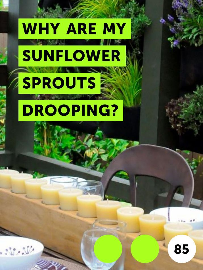 Learn Why Are My Sunflower Sprouts Drooping How To Guides Tips And Tricks Plants Sunflower Seedlings Plant Leaves