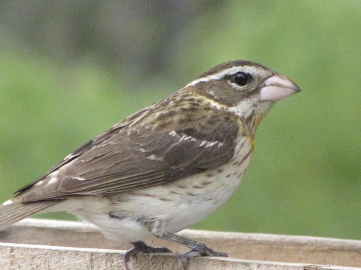 Rose Breasted Grosbeak-female