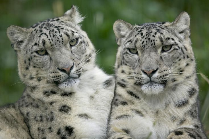 snow leopards: Zoos Animal, Big Cat, Animal Friendship, Snow Leopards, Panthera Uncia, Real Beautiful, Desktop Wallpapers, Tigers Cubs, White Cat