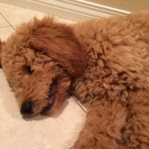 """Watch Theo Chews's Vine """"Theo is sure tired! Doodle Dexter, Zeus The Pitbull, Buddy the English Golden Ret., Lacey, The Blue Lacey, Just Sing, ❤️"""""""