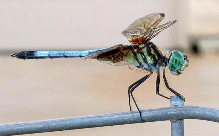 colorful pictures of dragon flies | Dragonfly Ranch - Dragonfly Facts