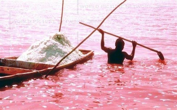 The Pink Salt Lake Retba or Lac Rose lies north of the Cap Vert peninsula of Senegal, north east of Dakar. This lake has an unusual color – it's pink. Lake Retba's pink color is the result of the Dunaliella salina, which is a halophilic (salt-loving) green microalgae which is usually found in sea salt fields and some cyanobacteria that have also been identified in the water.