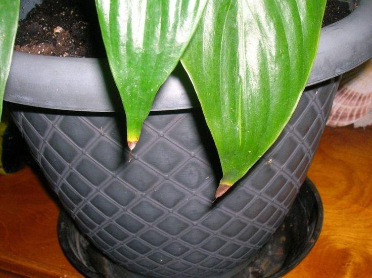 Почему сохнут кончики листьев у комнатных растений? Фото - Ботаничка.ru