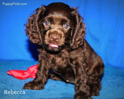 Rebecca   Female Cocker Spaniel For Sale in Hardy AR   4006581367   4006581367   Dogs on Oodle Marketplace