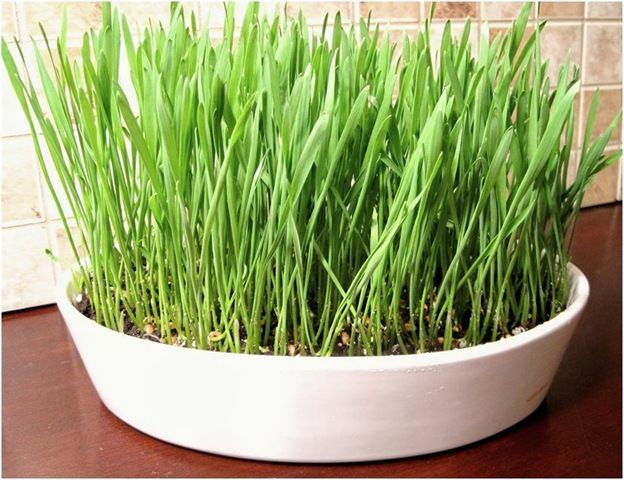 wheat grass kimba