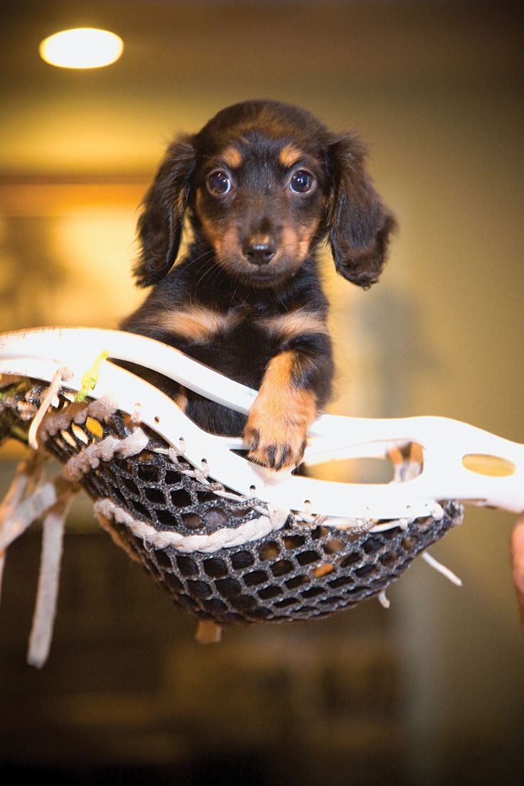 puppies lacrosse sticks - Google Search