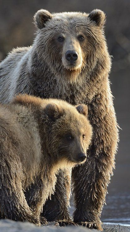 Bears  (by sergeyivanov)