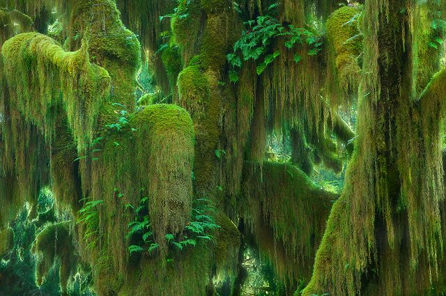 The Hoh Rainforest is located on the Olympic Peninsula in western Washington state, USA. It is one of the largest temperate rainforests in the U.S. Photo by Marc Adamus.