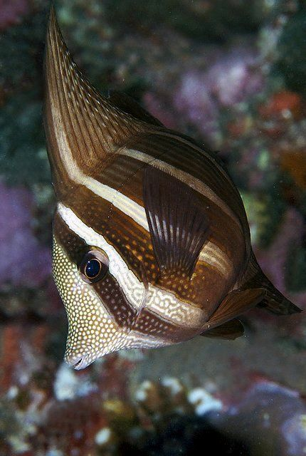 Sailfing tang - beautiful fish / by melissa.fiene, via Flickr