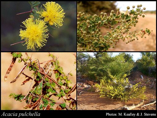 Photo of Acacia pulchella R.Br.