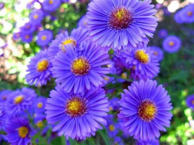 Gonna have two of these aster flowers to start my sleeve tattoo