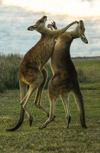 Two kangaroos have a punch-up in a field near Coffs Harbour, Australia Picture: EPA