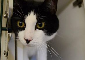 SPIKE  - A1082070 - - Manhattan  *** TO BE DESTROYED 08/09/16 *** SUPER SPIKE!! Two year old, NEUTERED and AVERAGE rated!! …A volunteer writes: Come meet Spike! A better name for this boy is Romeo. With classic Tuxedo good looks and a strong romantic side, he will surely sweep you off your feet. Be prepared for daily make-out sessions with this lover boy. And, since he is already neutered, he can go home with you the same day you adopt. Let the cuddling begin!….