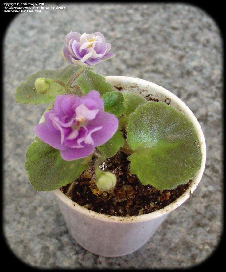Bridal Lady 2 Blätter//2 leaves African Violet Usambaraveilchen