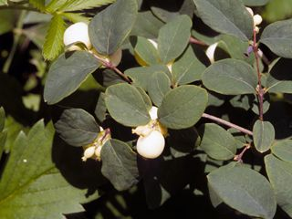 U.S. native Symphoricarpos albus (Common snowberry) is similar to Texas native Coralberry (S. orbiculatus).