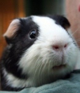 Find out what foods guinea pigs can and cannot eat! If you're thinking of adopting a guinea pig and want to know what guinea pigs can eat, or if you already have a guinea pig and are wondering if a certain food is okay to feed them, this page is for...