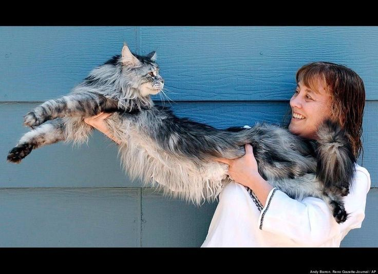 robin henderson is the proud owner of the worlds longest domestic cat the maine coon cat named stewie is 48 inches long from tip to tail - Biggest House Cat In The World 2013