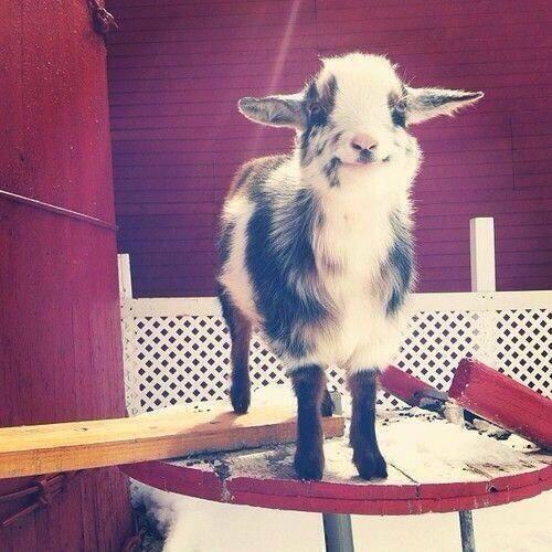 Una pequeña cabra feliz!