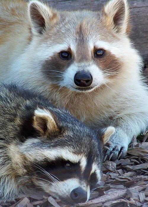 Raccoons by Karen Wiles A brown raccoon!