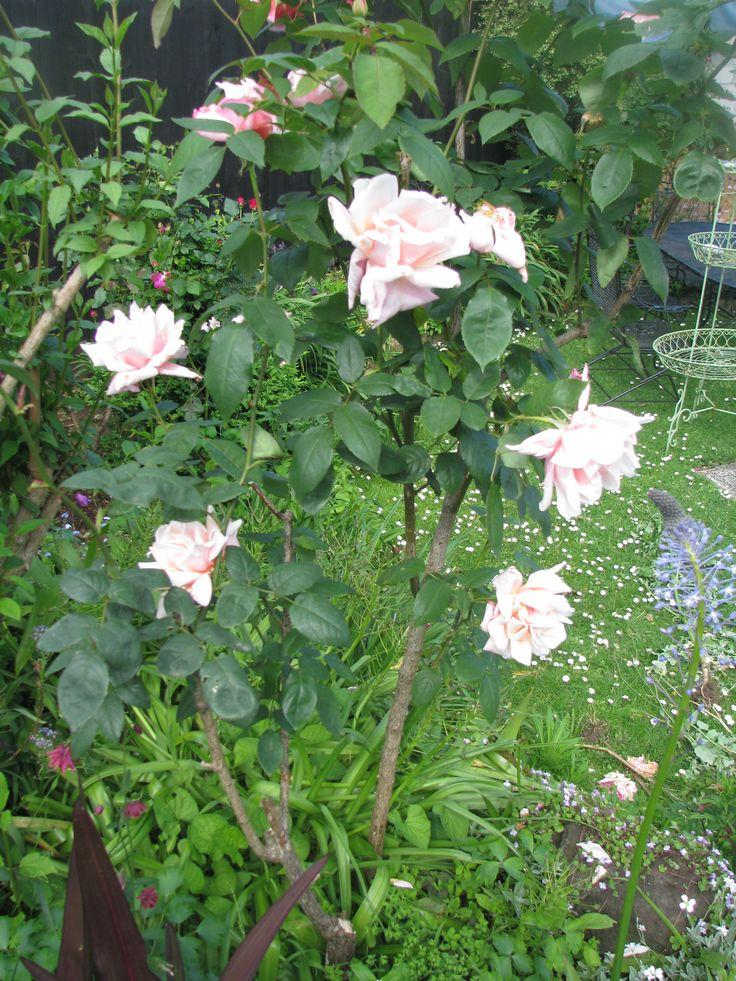 First Love a Beautiful Tea Rose