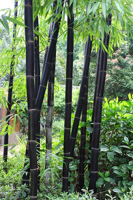 Black clums of Bambusa lako {it's a clumping bamboo and a bit less invasive}
