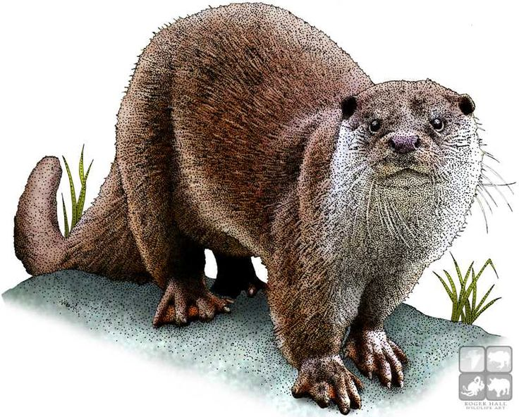 Full color illustration of a European Otter (Lutra lutra)