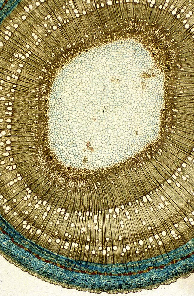 Beyond the Human Eye. Three-year-old lime sapling bark cross-section.