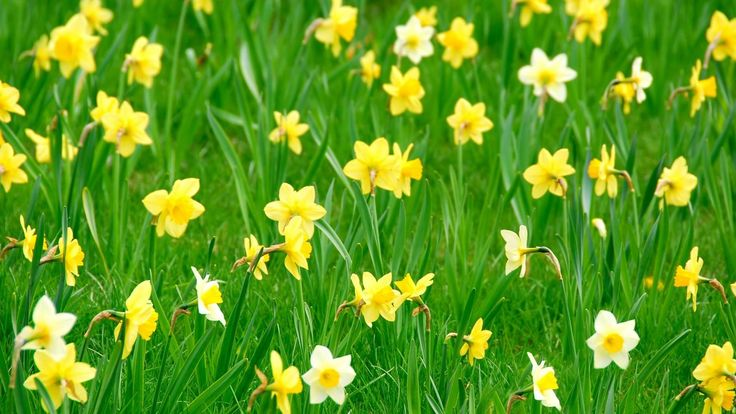 2048x1152 Wallpaper daffodils, flowers, herbs, flowerbed, spring