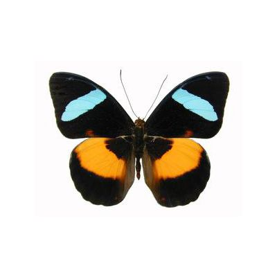 Nessea obrinus Obrina Olivewing