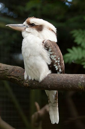 Kookaburra Sits in the old Gum Tree. This one has eaten a few snakes, he's quite a big one! Once I was driving out in a country area when a kookaburra flew overhead and accidentally dropped his snake on the road...everyone in the car instinctively ducked and covered their heads...even though the car had a top!! Too funny...