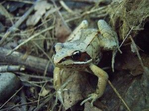 Amphibians Evolve Resistance to Popular Pesticide ~  in a new study in Evolutionary Applications, Rickey Cothran and his colleagues at the University of Pittsburgh are the first to show evidence that non-target species, in this case frogs, may also evolve resistance to two popular pesticides. http://www.wakingtimes.com/2013/10/05/amphibians-evolve-resistance-popular-pesticide/