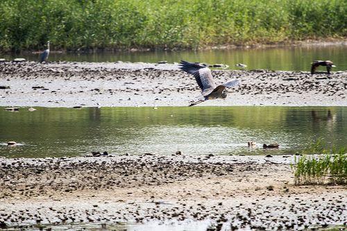 Bird in Flight /  Hong Kong Wetland Park / SML.20131118.7D.51220