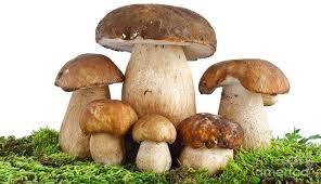 Resultado de imagem para reino fungi