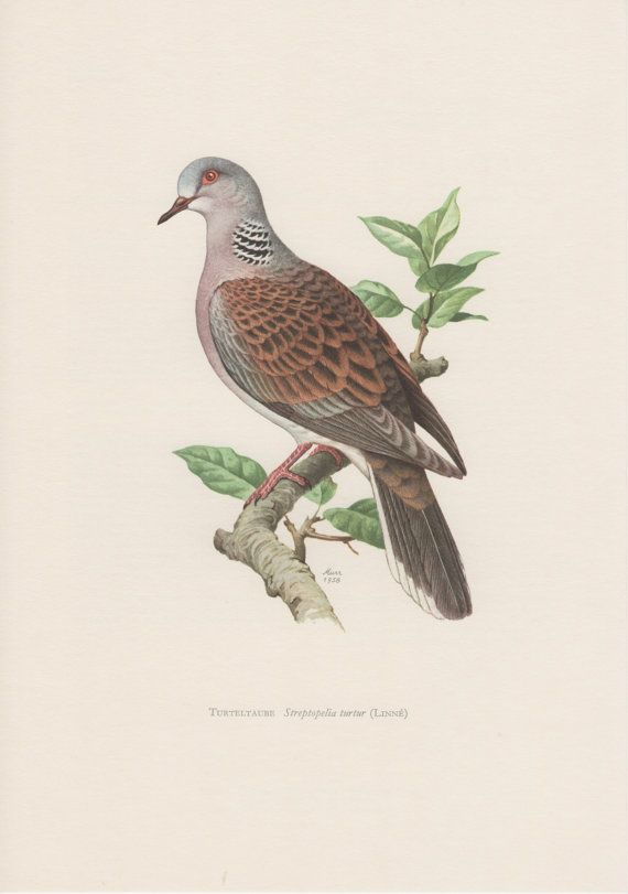 1957 Turtle Dove Antique Print Vintage Lithograph by Craftissimo, €12.95