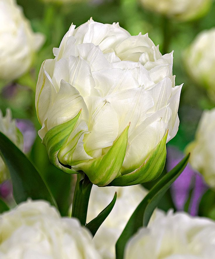 Tulip 'Ice Age'   Flower Bulbs from Bakker Spalding Garden Company